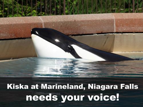 Kiska the Orca