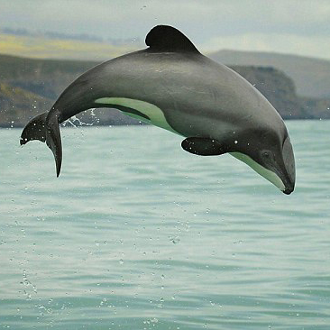 New Zealand dolphins to 'go the way of the dodo' because of cruel fishing methods