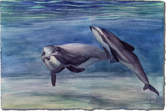 Tupoupou (Maui Dolphin)