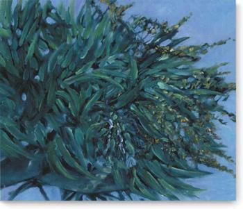 Dracaena draco (Dragon Tree)