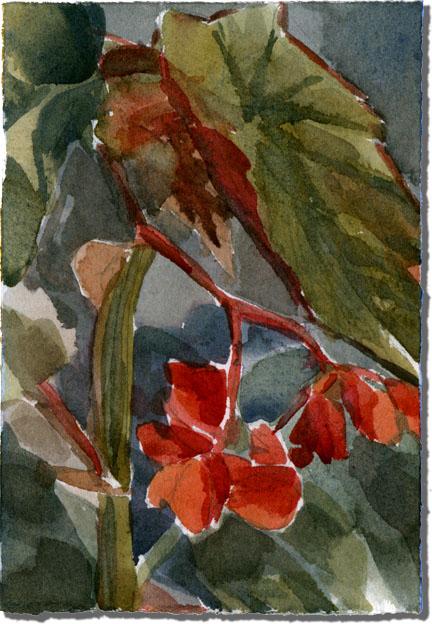 Claudia's Begonias
